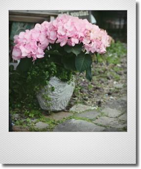 画像1: 【送料込み!!】 母の日の寄せ植え * 秋色アジサイ マリーアントワネット  *