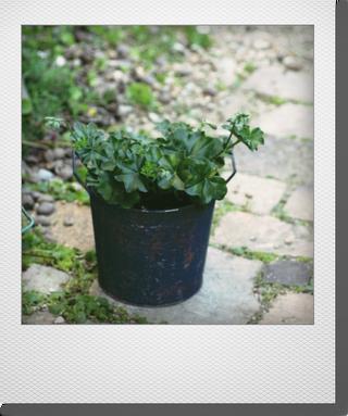 画像1: 寄せ植え 『アイビーゼラニウムトムキャット』