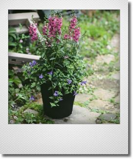 画像1: 夏の寄せ植え 『アンゲロニアローズとトレニア』
