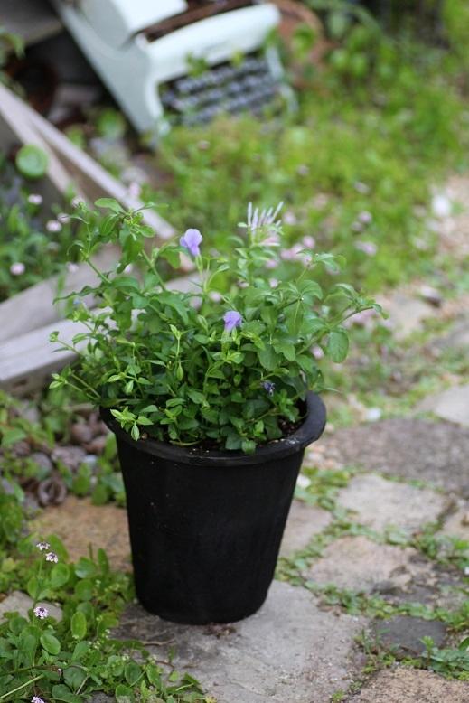 画像1: 夏の寄せ植え 『ルリマツリとトレニア』