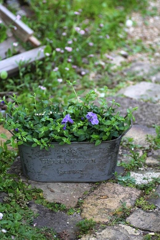 画像1: 夏の寄せ植え 『トレニア』