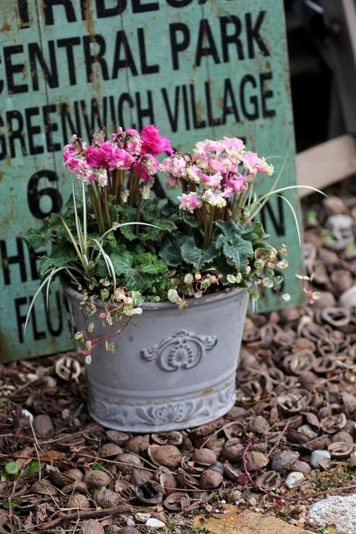 画像1: シンプルに楽しむ冬の寄せ植え『ガーデンシクラメンPIPOKA』