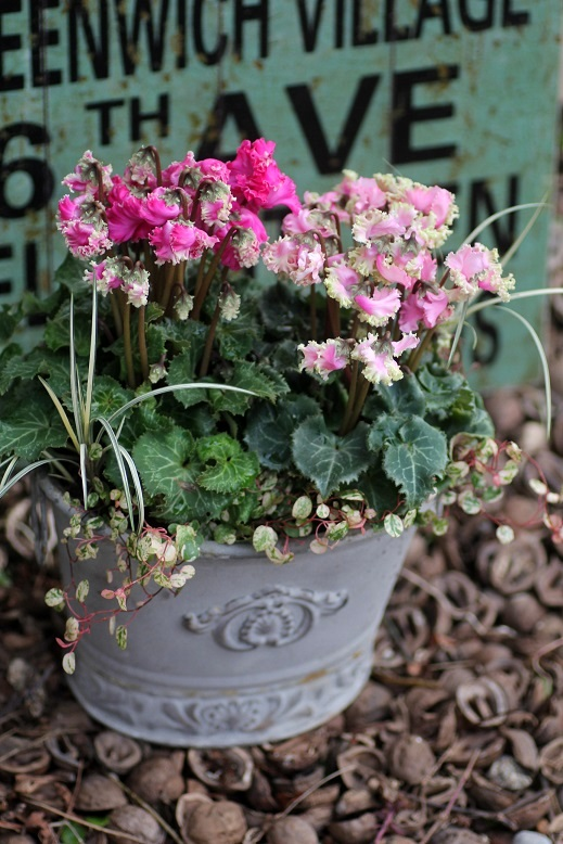画像2: シンプルに楽しむ冬の寄せ植え『ガーデンシクラメンPIPOKA』