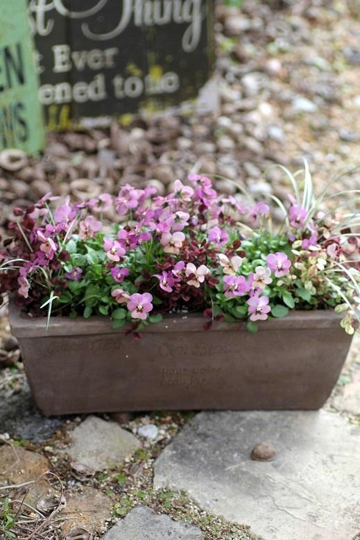 画像4: 【送料無料!!】 冬から春を楽しむ寄せ植え『タンゴアモーレ&見元クローバー』 ※1/24写真撮り直しました