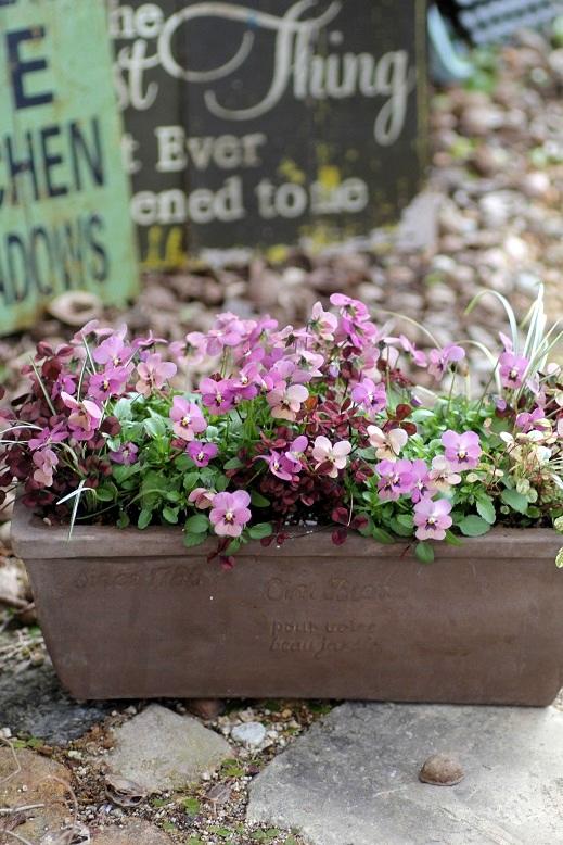 画像3: 【送料無料!!】 冬から春を楽しむ寄せ植え『タンゴアモーレ&見元クローバー』 ※1/24写真撮り直しました