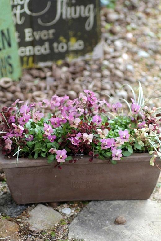 画像2: 【送料無料!!】 冬から春を楽しむ寄せ植え『タンゴアモーレ&見元クローバー』 ※1/24写真撮り直しました