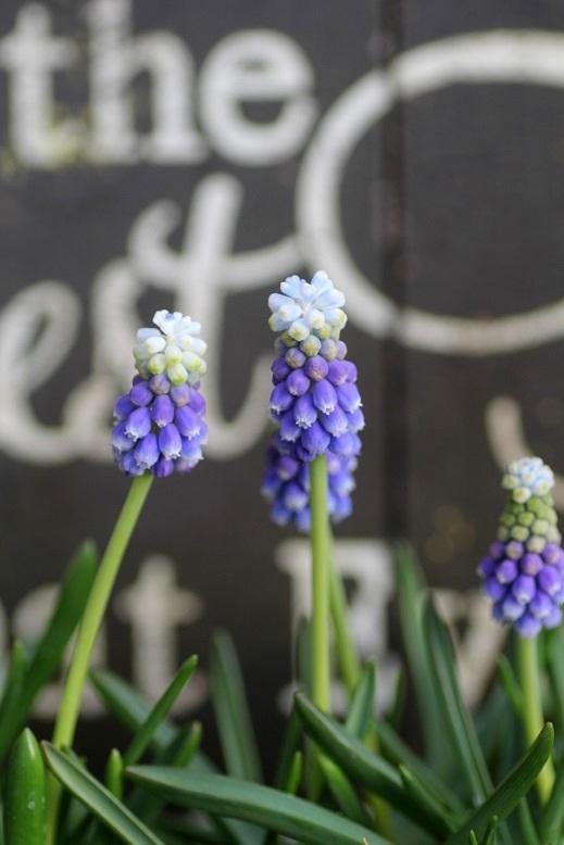 画像2: 2色咲きムスカリ『タッチオブスノー』 ※4球植え