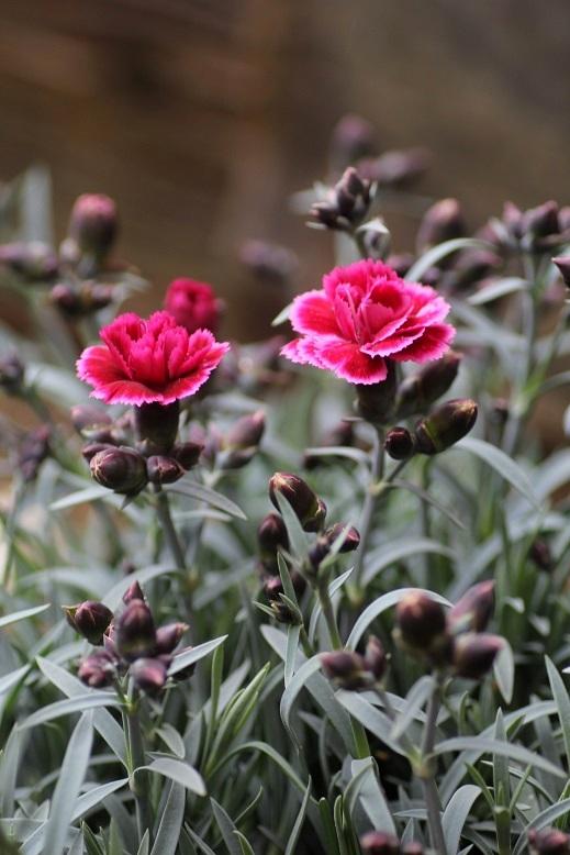画像3: ガーデンカーネーション 『ディアンティカ バーガンディ』