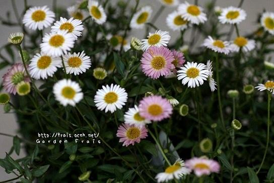 画像2: 花色が変化する 『エリゲロン』