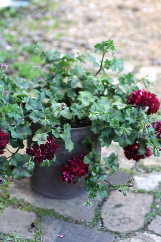 画像1: 【送料無料!!】 シンプルに楽しむ春の寄せ植え『トムキャット』
