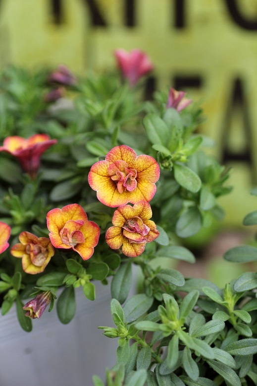 画像1: 八重咲きカリブラコア 『スイートクリンゲル』 *ブロンズ*