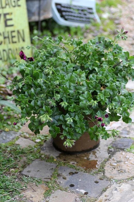 画像2: 【送料無料!!】 母の日に♪ シンプルに楽しむ春の寄せ植え『トムキャット』