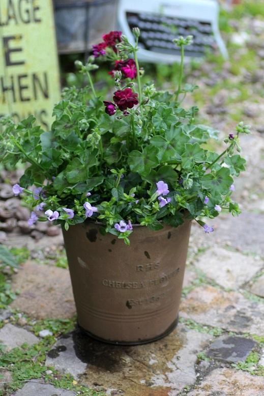 画像1: 【送料無料!!】 シンプルに楽しむ春の寄せ植え『トミーとブルーリバー』