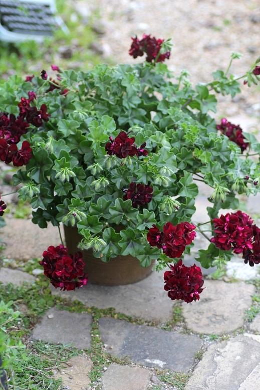 画像1: 【送料無料!!】 母の日に♪ シンプルに楽しむ春の寄せ植え『トムキャット』