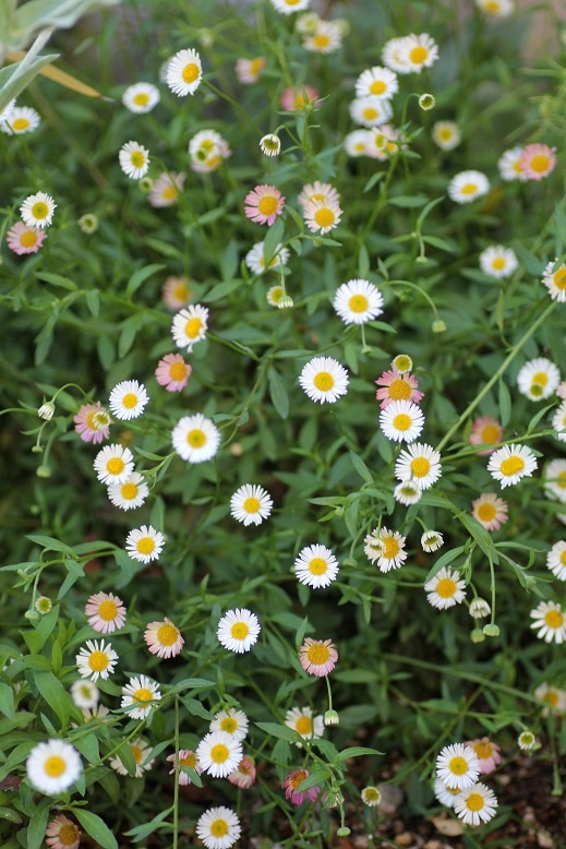 画像1: 花色が変化する 『エリゲロン』