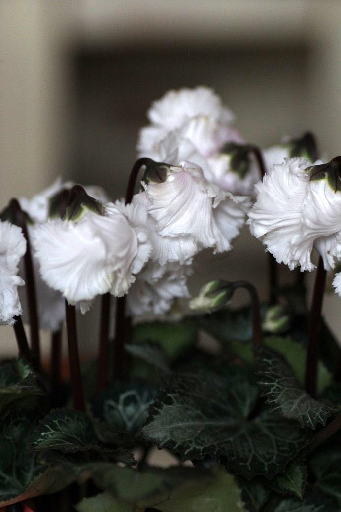 画像2: フリンジがかわいい ガーデンシクラメン『ベリッシマ』*ホワイト*