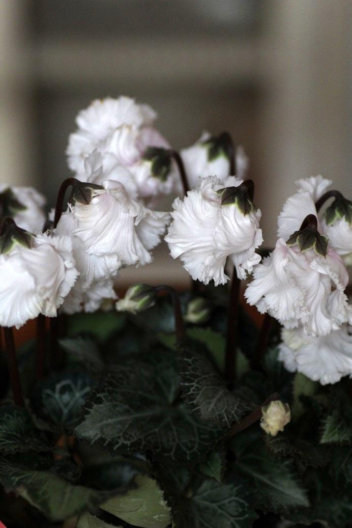 画像1: フリンジがかわいい ガーデンシクラメン『ベリッシマ』*ホワイト*
