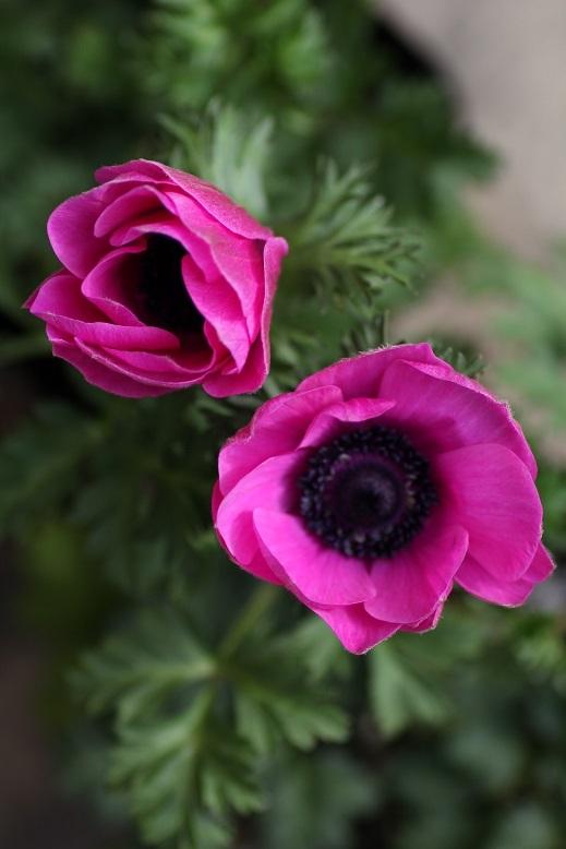画像1: シングル咲きアネモネ *ピンク*