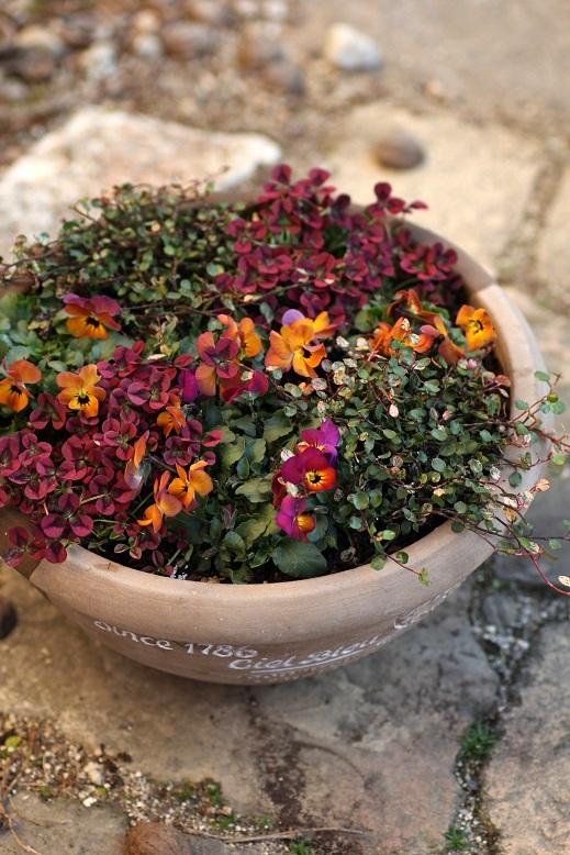 画像2: 【定価の30%OFF!!】 初春の寄せ植え『ビオラ苺っこ』