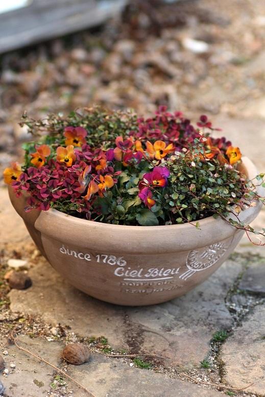 画像1: 【定価の30%OFF!!】 初春の寄せ植え『ビオラ苺っこ』