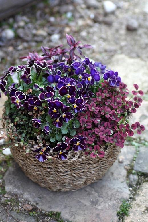 画像2: 【定価の30%OFF!!】 初春の寄せ植え『ビオラファルファリア』