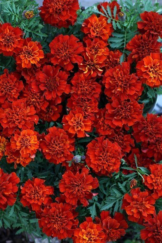 画像2: 花色が変化する フレンチマリーゴールド『ファイヤーボール』
