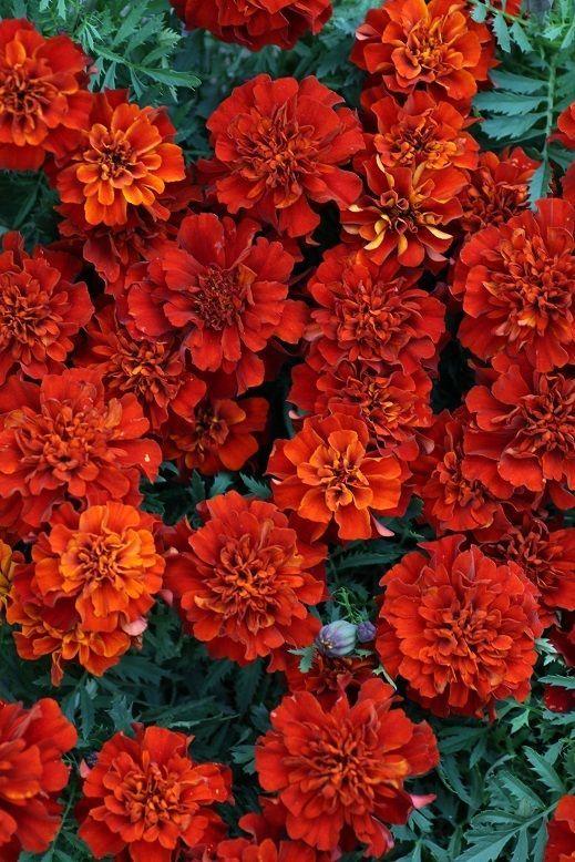 画像1: 花色が変化する フレンチマリーゴールド『ファイヤーボール』