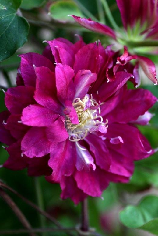 画像2: 【SALE!!】 八重咲きクレマチス『赤富士』 *5号大株* ★1点もの★