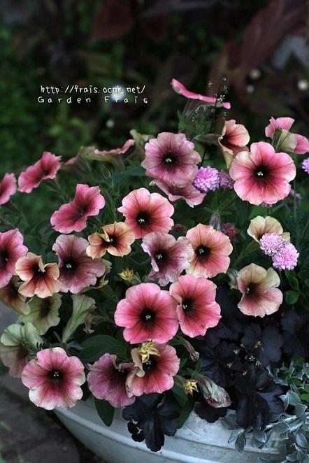 画像1: 朝倉のペチュニア 朝倉ろまんシリーズ 『あずき』