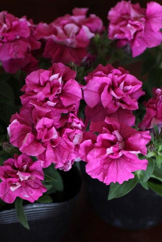 画像1: 朝倉のペチュニア 朝倉ろまんシリーズ 『八重ピンク』