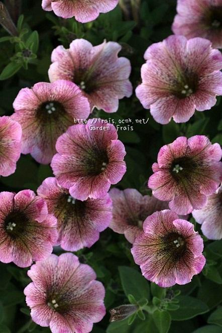 画像1: 朝倉のオリジナルペチュニア『苺みるく』