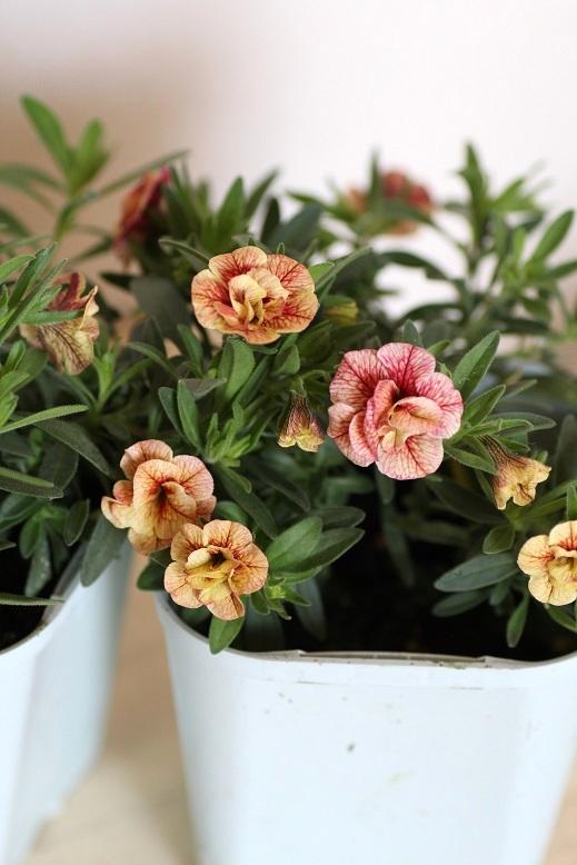 画像1: 八重咲きカリブラコア 『スイートクリンゲル』 *ピーチ*