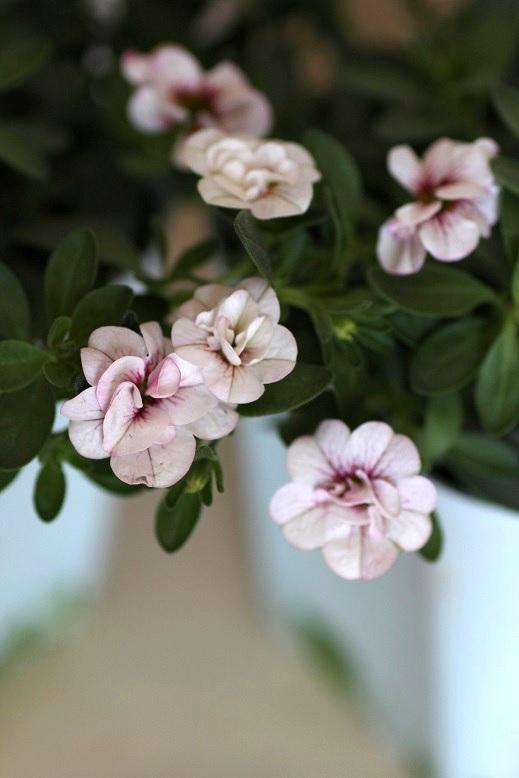 画像2: 八重咲きカリブラコア 『スイートクリンゲル』 *パール*