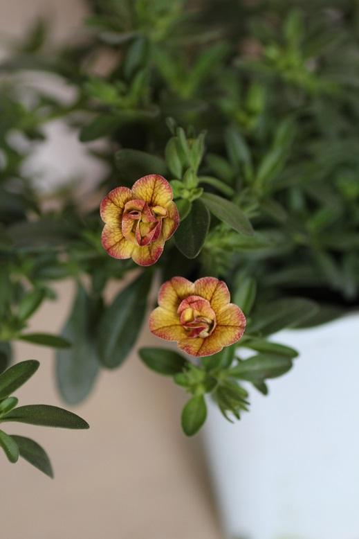 画像3: 八重咲きカリブラコア 『スイートクリンゲル』 *ブロンズ*