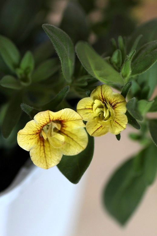 画像2: 八重咲きカリブラコア 『スイートクリンゲル』 *ゴールデン*