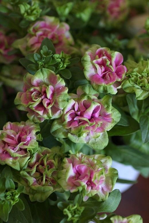 画像1: 八重咲きペチュニア『湘南ローザ・ヴェルデ』