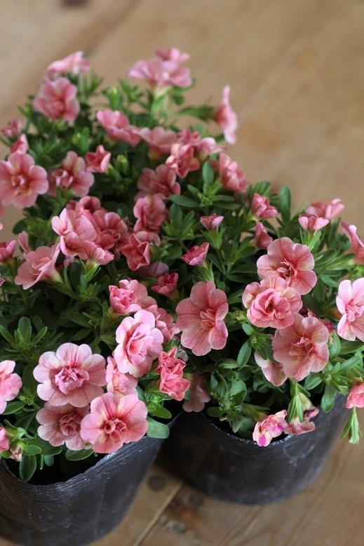 画像1: 八重咲きカリブラコア 『ティーフォーシーダブル』 *ピーチイエロー*