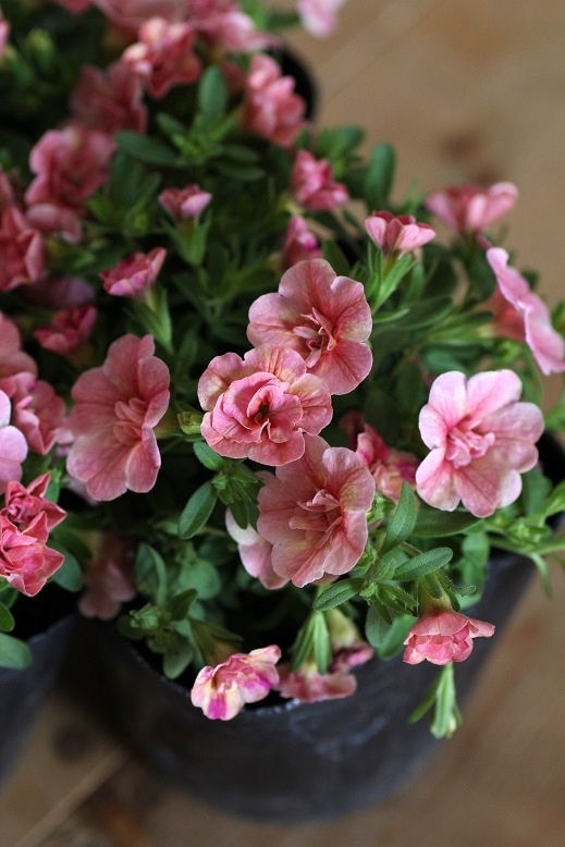 画像2: 八重咲きカリブラコア 『ティーフォーシーダブル』 *ピーチイエロー*