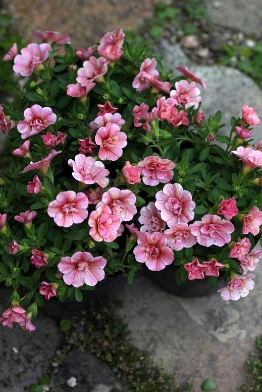 画像5: 八重咲きカリブラコア 『ティーフォーシーダブル』 *ピーチイエロー* ※5/6ピンチ済