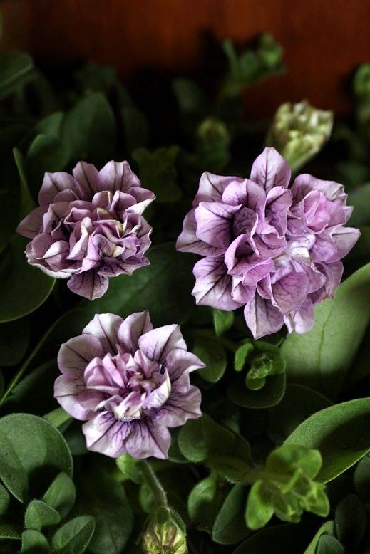 画像3: 八重咲きペチュニア パニエ 『ピンクアイス』 *4号*