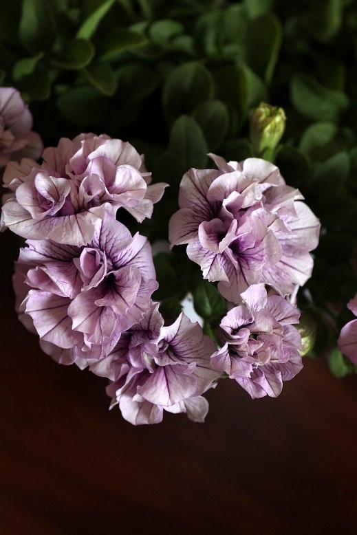 画像2: 八重咲きペチュニア パニエ 『ピンクアイス』 *4号*