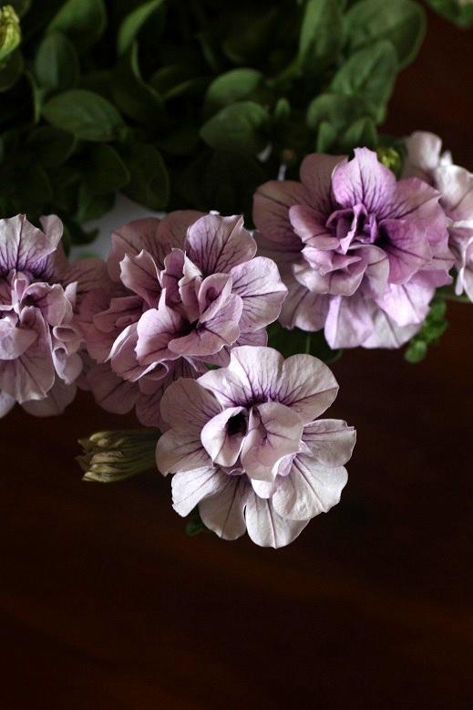 画像1: 八重咲きペチュニア パニエ 『ピンクアイス』 *4号*