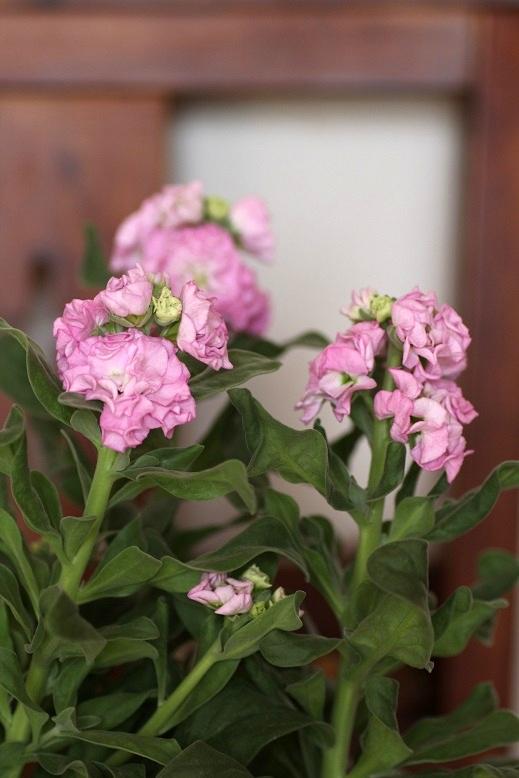 画像4: 八重咲きストック 『ベイビーピンク』