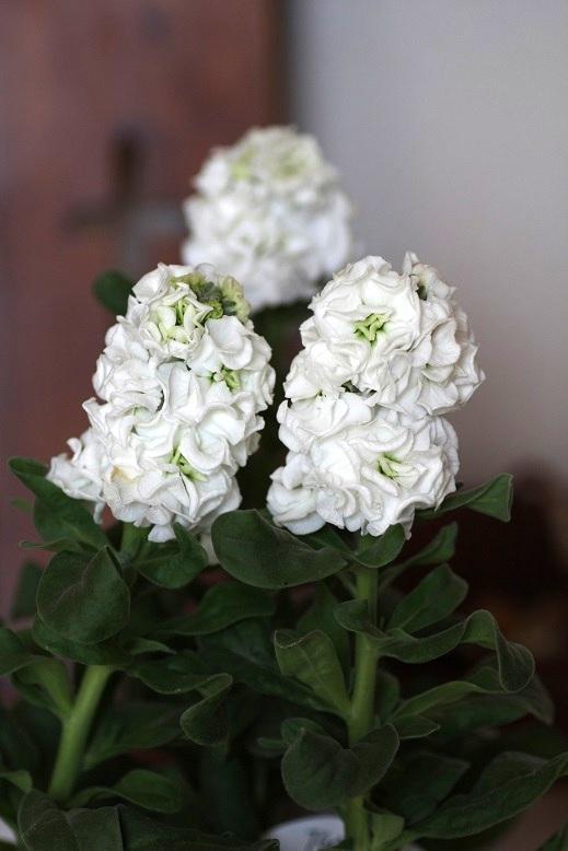 画像1: 八重咲きストック 『ベイビーホワイト』