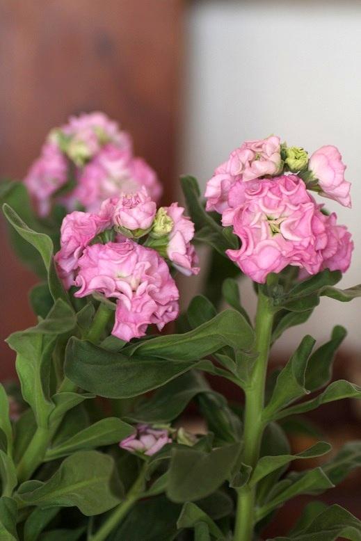 画像3: 八重咲きストック 『ベイビーピンク』