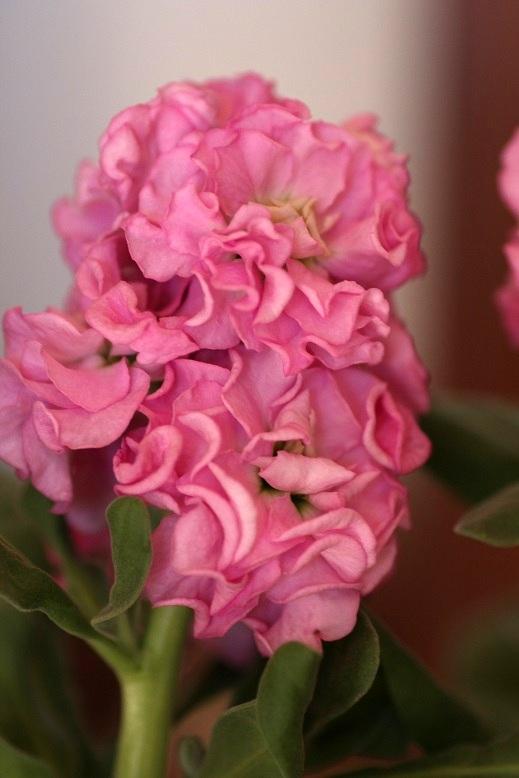画像2: 八重咲きストック 『ベイビーピンク』