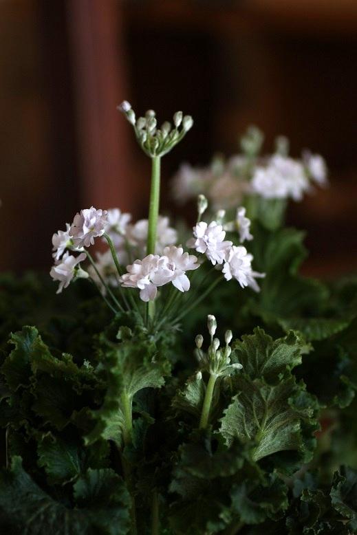 画像1: 八重咲きプリムラマラコイデス『メローシャワー』