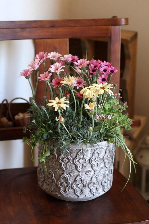 画像1: 春の寄せ植え『ローダンセマムスペシャル』