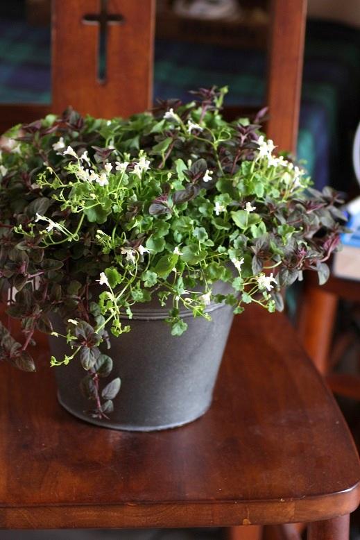 画像1: 春の寄せ植え『シンバラリア&リシマキア』