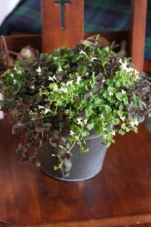 画像2: 春の寄せ植え『シンバラリア&リシマキア』